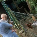 Gabriel re-découvre les poules